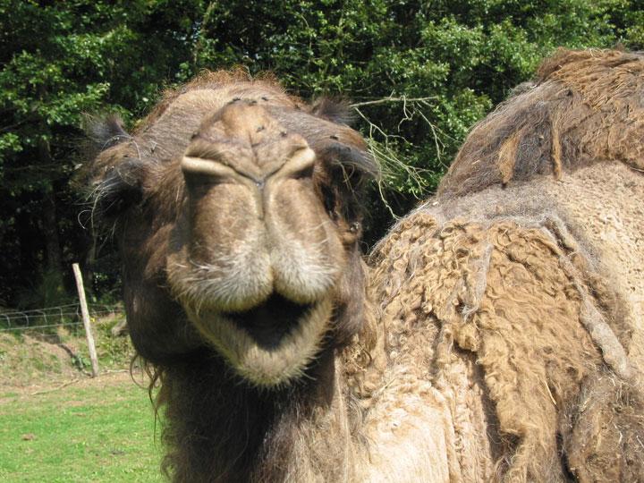 face-chameau